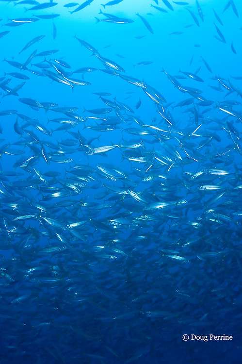 opelu, cigarfish, or mackerel scad, Decapturus macarellus, near Kona Blue fish pens, off Keahole, Kona Coast, Hawaii Island ( Central Pacific Ocean )