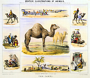 The Camel: used for transport; milk; meat; cloth. Hand-coloured lithograph by Waterhouse Hawkins, creator of the prehistoric animals for the Crystal Palace exhibition of 1851. From 'Graphic Illustrations of Animals and Their Utility to Man'