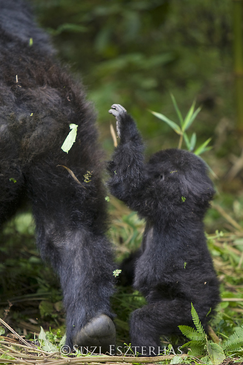 Mountain Gorilla<br /> Gorilla gorilla berengei<br /> Baby reaching for mother<br /> Virunga Volcanoes National Park, Rwanda<br /> *Endangered Species