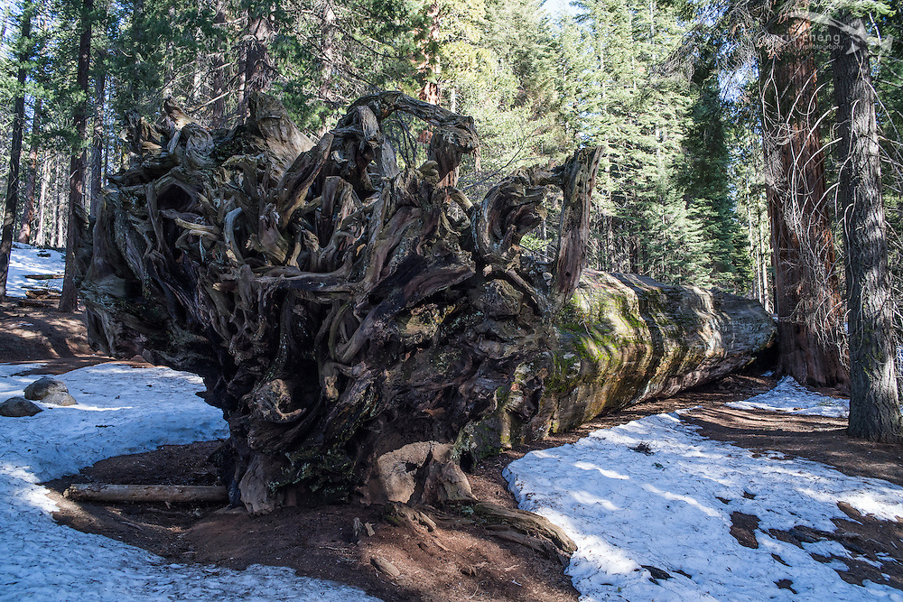 Fallen sequoia tree. Sequoia National Park, California.