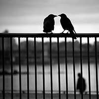 Two crows in silhouette sitting on a fence with a man walking by in the distance.