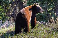 A Yukon black bear eats in the morning sun