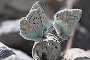 Polyommatus coridon - Silbergrüner Bläuling, L'Argus bleu-nacré