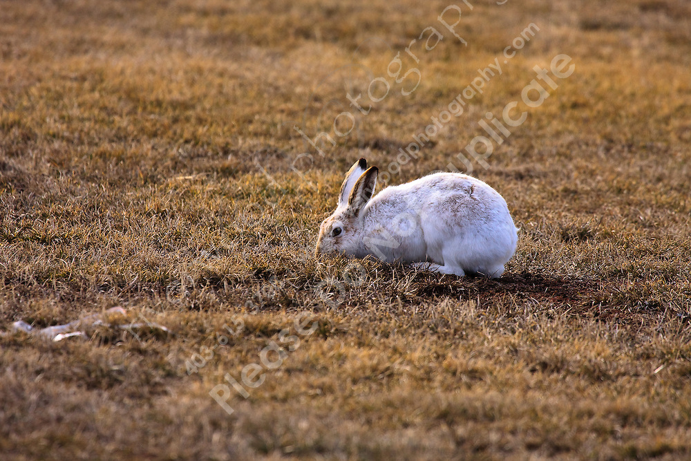 A White-tailed JHackrabbit seraches for food in the dry spring grass.  This rabbit is still mostly white, but has started to change into its summer Brown...©2009, Sean Phillips.http://www.Sean-Phillips.com