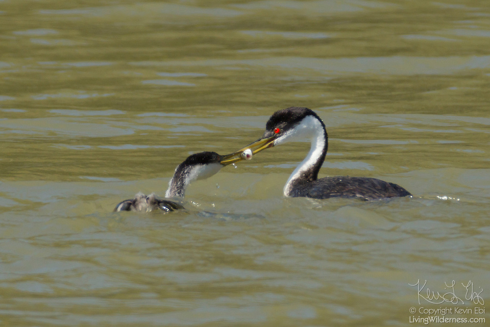 An adult Western Grebe (Aechmophorus occidentalis), right, passes a fish to a young Western Grebe on Fern Ridge Lake near Eugene, Oregon.