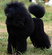 Edgar poriya elite - a black miniature poodle Full body side view Property release available