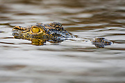 A Nile crocodile lies on the surface of the Chobe River with just its eyes and nostrils showing, Chobe River, Kasane, Botswana.