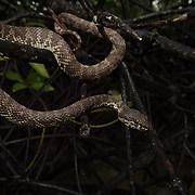 Mangrove Pit Viper (Trimeresurus purpureomaculatus) in the mangrove forests of Krabi, Thailand