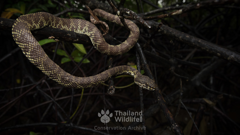 Mangrove Pit Viper (Trimeresurus purpureomaculatus) in the mangrove forests of Krabi, Thailand