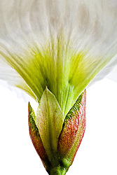 Beaumontia grandiflora, Easter Lily Vine#5