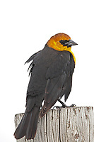 A Yellow Headed Blackbird stands on a fence post on a stormy day.