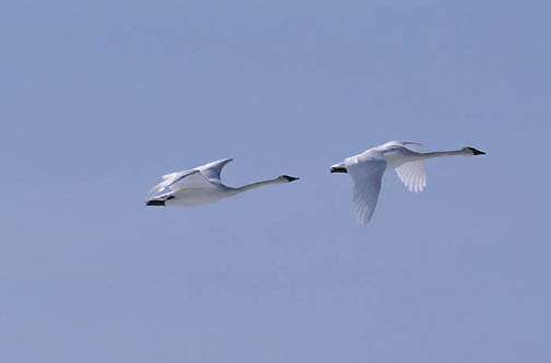 Trumpeter Swan, (Cygnus buccinator) Pair in flight. Winter.  Yellowstone National Park.