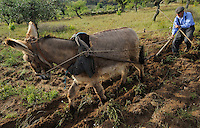 Jos&eacute; Maria Fel&iacute;x, 89 years old, ploughing with his donkey,<br /> Faia Brava and  C&ocirc;a valley Archaeological park,<br /> Portugal