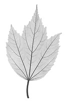 X-ray image of a swamp rose mallow leaf (Hibiscus moscheutos 'Blue River II', black on white) by Jim Wehtje, specialist in x-ray art and design images.