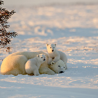 Mother Polar Bear resting with her two three-month-old cubs in Wapusk National Park south of Churchill Manitoba Canada near the Hudson Bay.