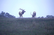 Tule Elk graze in the fog at Point Reyes, California.