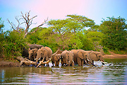 Elephant herd drinking at a dam bathed in the pastel blues and pinks of dusk. Klaserie, South Africa