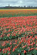 Tulip fields with village church in background in Holland.