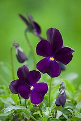 Viola 'Roscastle Black'