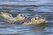 Harbor Seal<br /> Phoca vitulina<br /> Newborn pup (just days old) piggyback riding mother<br /> Monterey Bay, CA
