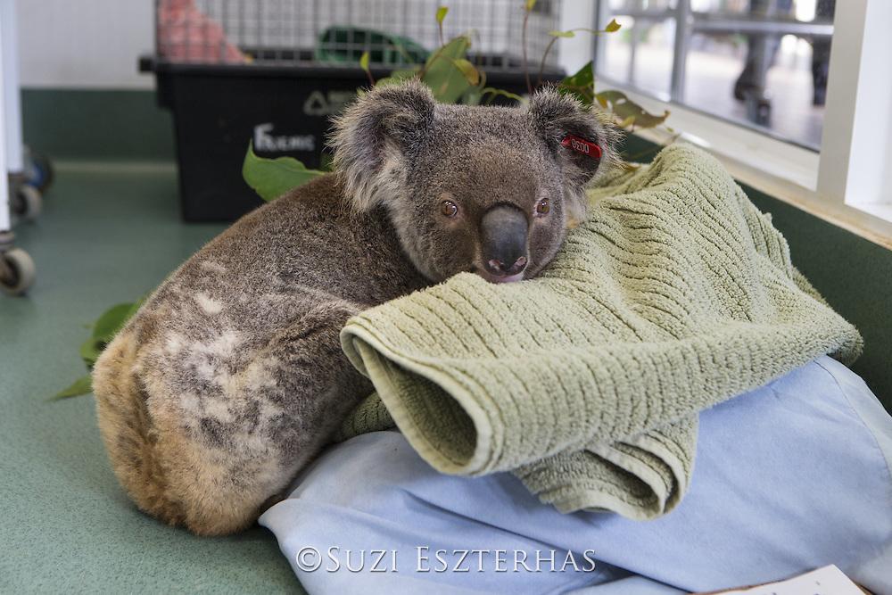 Koala <br /> Phascolarctos cinereus<br /> Male sick with chlamydia<br /> Currumbin Wildlife Hospital, Queensland, Australia<br /> *Captive