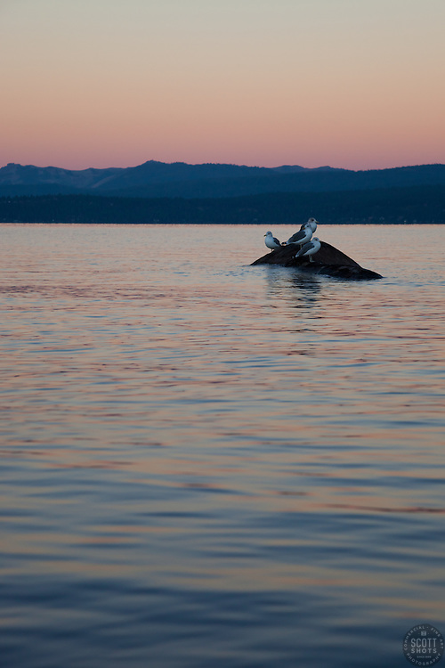 """""""Seagulls at Sunrise, Lake Tahoe 4"""" - These seagulls were photographed from a kayak at sunrise on Lake Tahoe, near Speed Boat Beach."""