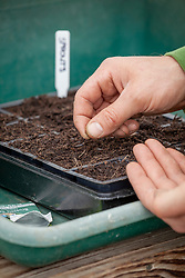 Sowing sprouts into a modular seed tray