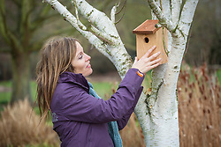 Putting up a wooden bird box in a silver birch tree