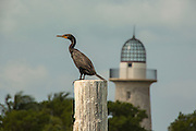 A double-crested cormorant (Phalacrocorax auritus) with the light house from Boca Chita Key in the backgorund. Biscayne Bay Naitonal Park, Florida.