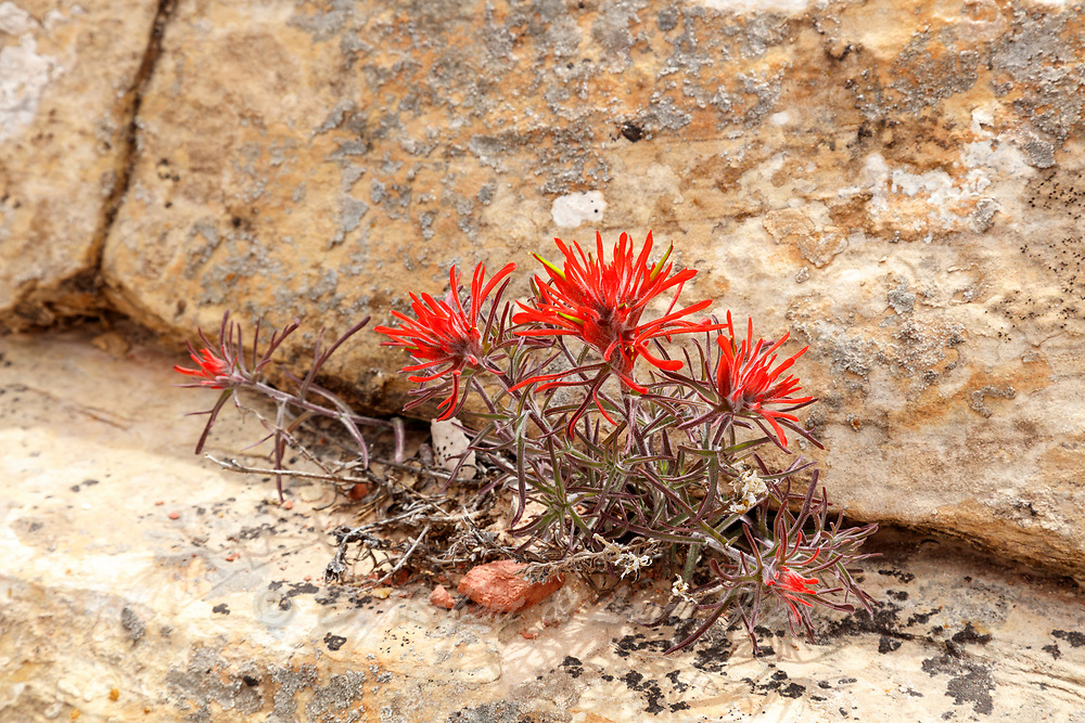 Indian Paintbrush in bloom on the Cedar Mesa in Utah