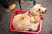 17 APRIL 2010 - BANGKOK, THAILAND: A dog with a Red Shirt bandana. A whole economy has sprung up around the Red Shirt camp with vendors selling everything from snacks and meals to mats (that they sit on) to fans, hats and Red Shirt souvenirs. The Red Shirts continue to occupy Ratchaprasong Intersection an the high end shopping district of Bangkok. They are calling for Thai Prime Minister Abhisit Vejjajiva to step down and dissolve the parliament. Most of the Red Shirts support ousted former Prime Minister Thaksin Shinawatra.   PHOTO BY JACK KURTZ