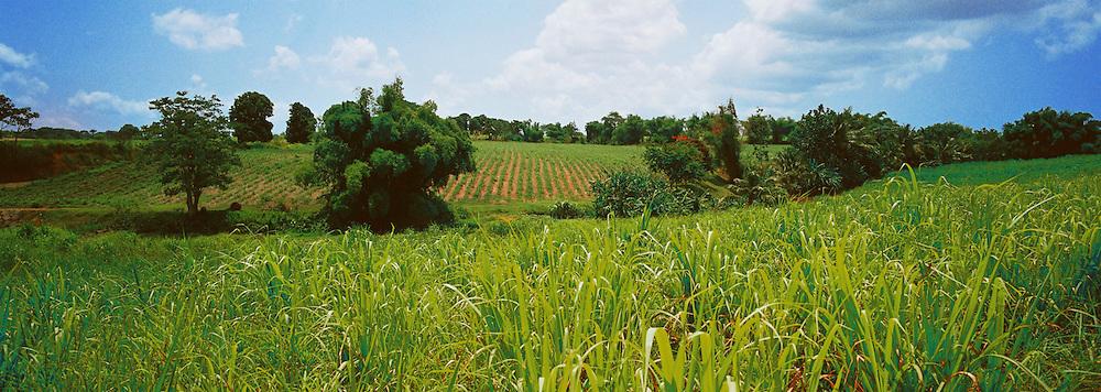Sugarcane field, Le Lamentin, Guadeloupe.