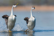 Western Grebes, Aechmophorus occidentalis, courting pair, South Dakota