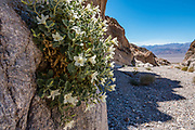 A desert rock nettle (Eucnide urens or desert stingbush) shrub blooms with creamy yellow flowers in Fall Canyon, a wilderness area in Death Valley National Park, California, USA.