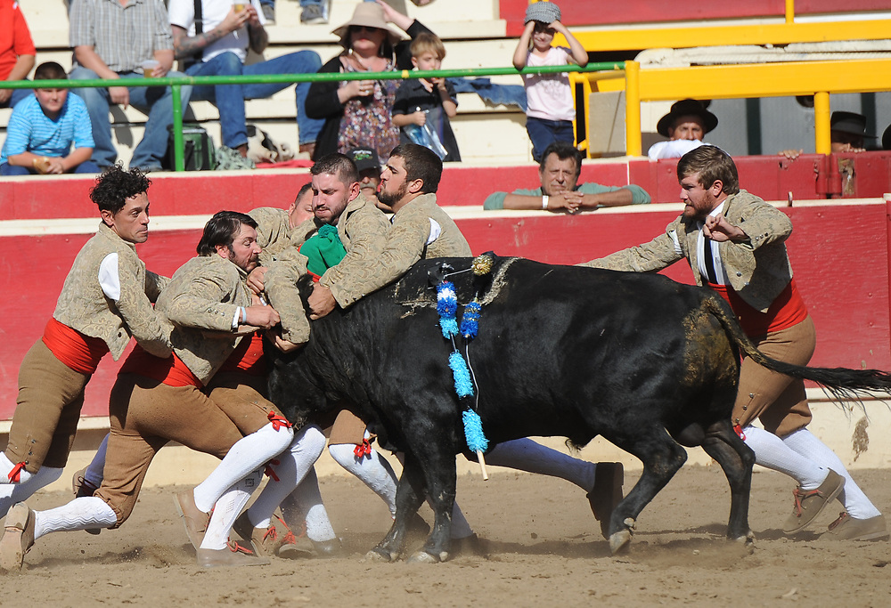 BEA AHBECK/NEWS-SENTINEL<br /> Grupo Forcados Amadores Luso-Americanos' Ray Oliveira performs the second grab (their first) during the bloodless bullfight during the Our Lady of Fatima Portuguese Festival in Thornton Saturday, Oct. 14, 2017.