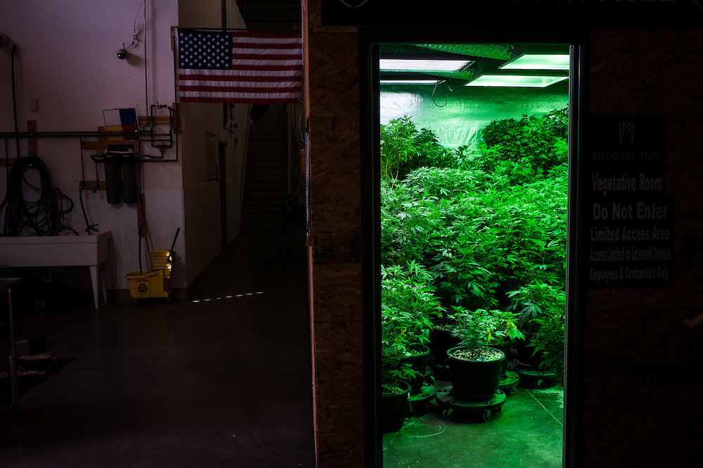 The vegetative room at Medicine Man. Most marijuana sold in Colorado is grown from clones - cuttings off of nonflowering plants - and these plants are kept in a vegetative, non-flowering state as they are grown.