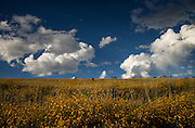 Yellow flowers cover the foothills in the grasslands of Santa Rita Mountains in the autumn near Sonoita, Arizona, USA.