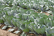 close up of a cabbage crop