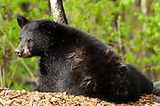 USA, Vince Shute Wildlife Sanctuary (MN).Black bear (Ursus americanus) cub