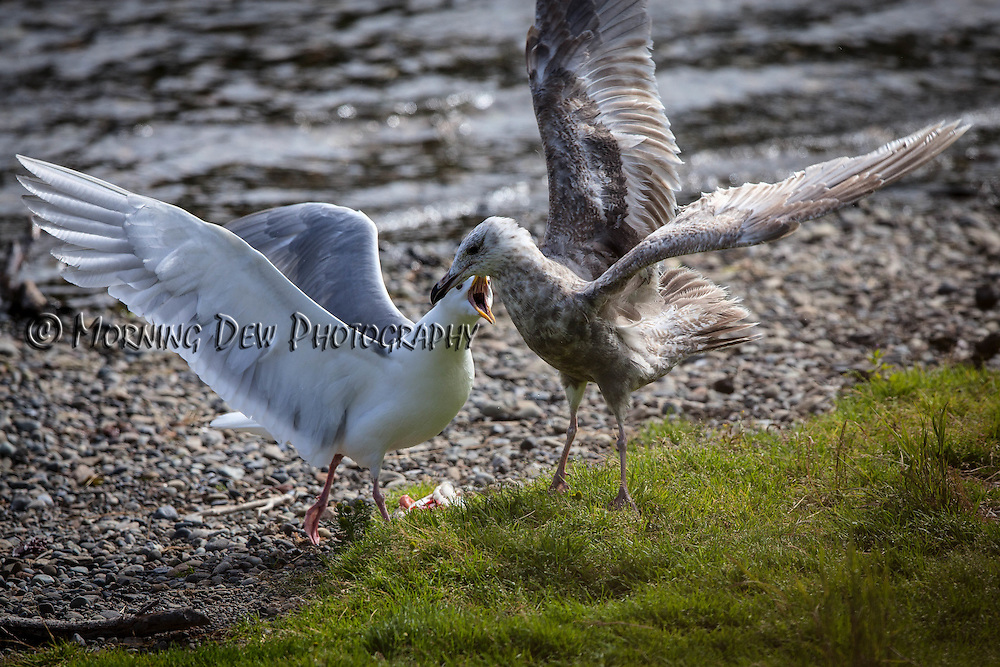 Two seagulls fight over salmon scraps along the shore of Brooks River, Katmai National Park