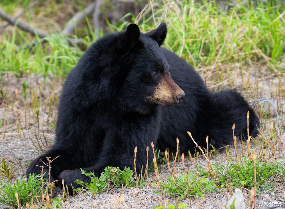 Black bear resting in a meadow in Southcentral Alaska's Chugach State Park.