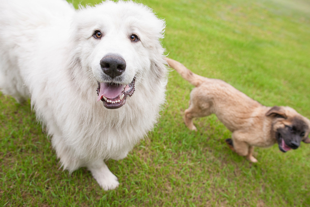 A Great Pyrenees dog walking with a Leonberger puppy