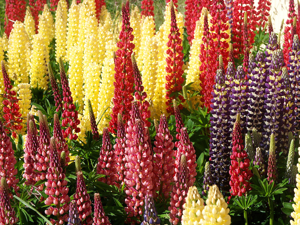 Lupines are a flowering plant mainly inhabiting North and South America.  Their are over 200 species within the genius Lupine.
