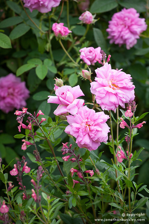 Rosa 'Ispahan' AGM (also known as 'Rose d'Ispahan' and 'Pompon des Princes') with Salvia 'Tutti Frutti'