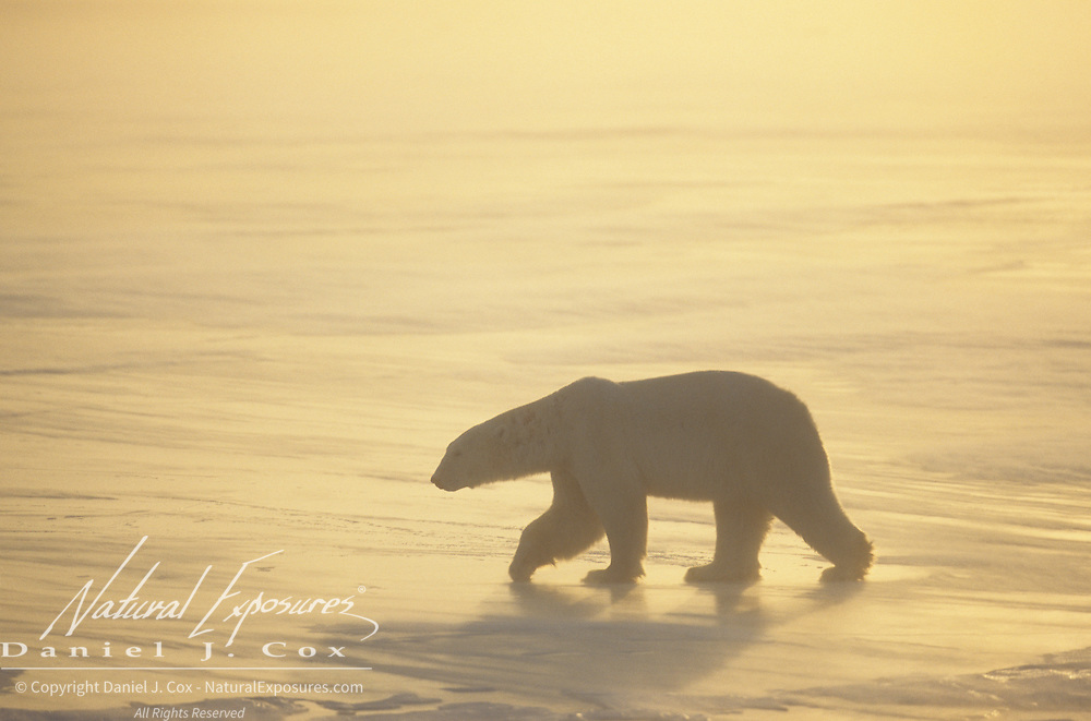 Polar Bear (Ursus Maritimus) on the frozen ice of Hudson Bay during the evening. Canada