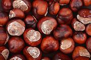Chestnut on wooden background - studio shot