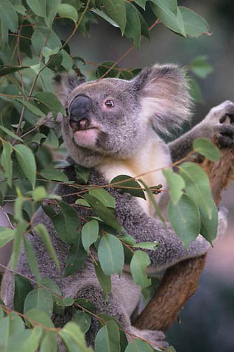 Koala, (Phascolarctos cinereus) Feeding on eucalyptus leaves. Australia. Captive Animal.