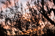 Photo sunset wall art. Santa Monica pink sky, bokeh, clouds, olive tree branches. Los Angeles, Westside, Southern California photography. Matted print, limited edition. Fine art photography.