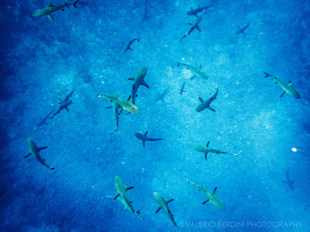 A school of grey sharks comes to surface attracted by the sound of a crushed plastic bottle by a scuba diver guide. The South pass in Fakarava is one of the richest places for sea life in the world.