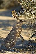 Black-tailed Jackrabbit Hare (Lepus californicus) feeding on Rabbitbrush in desert shade, Joshua Tree National Park, California